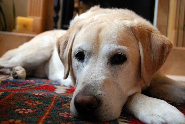 Golden Labrador Golden Retriever X Lab Info Temperament Puppies