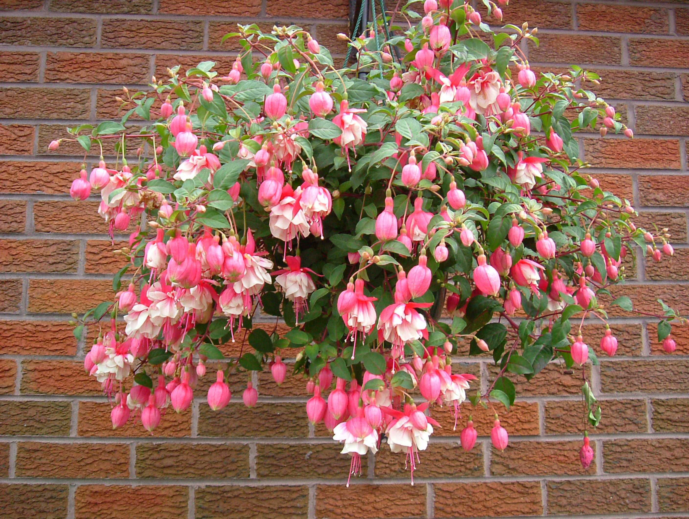 Best flowers for hanging baskets hanging baskets for Plante fushia exterieur
