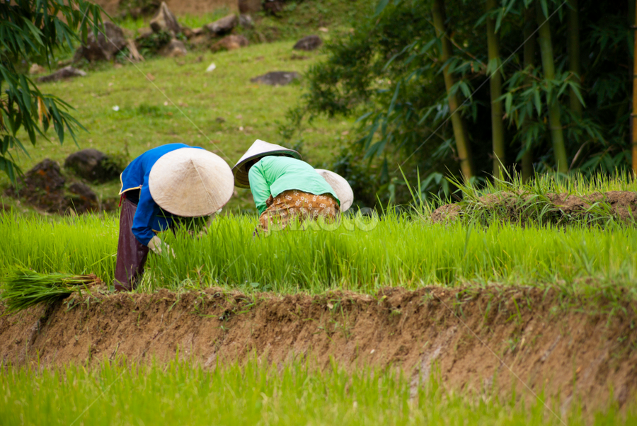 Paddy Field Workers Rice Paddy Vietnamese Cuisine Image Photography