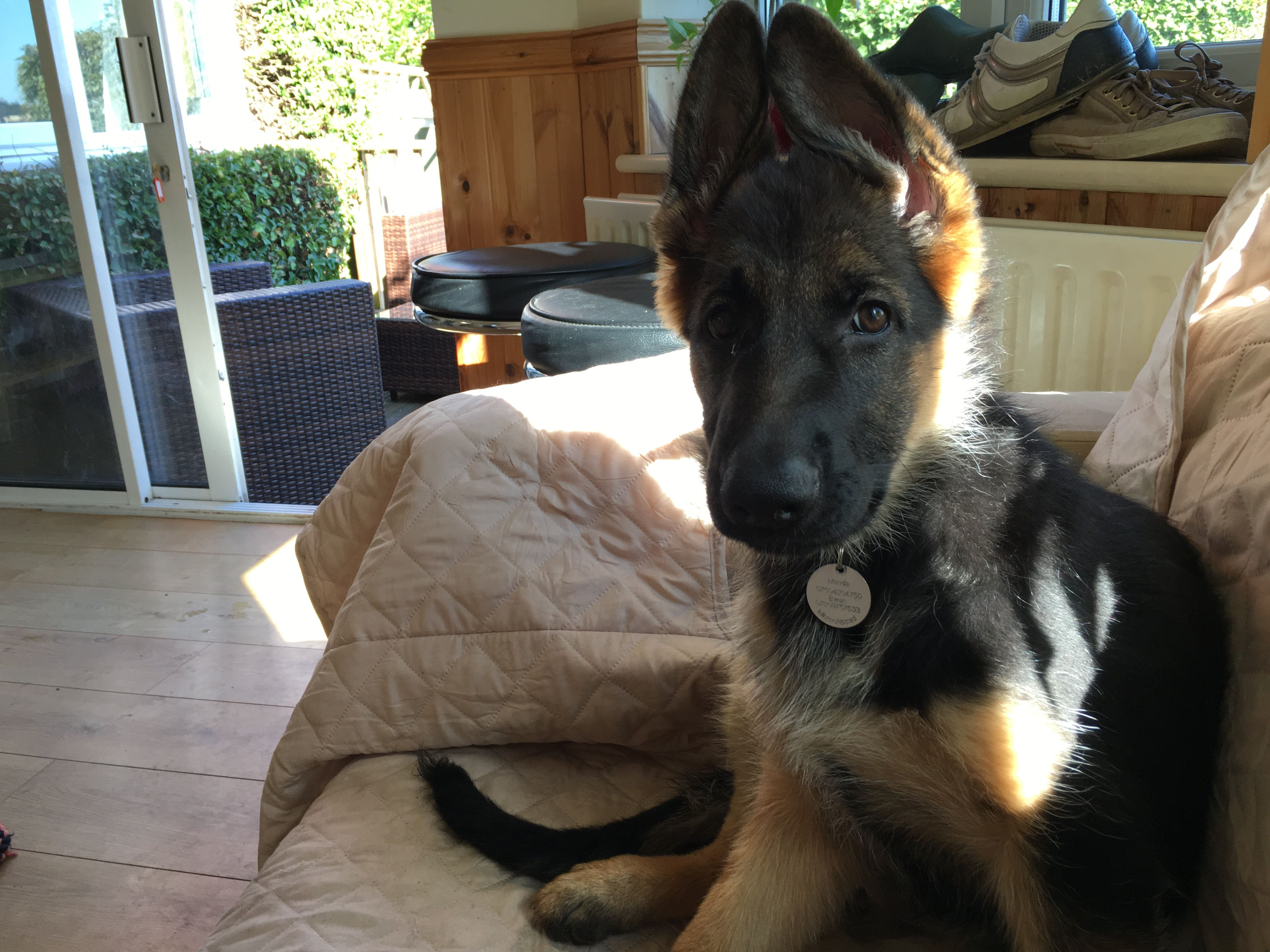 That Ears Not Sure Where To Go Stage In German Shepherds Lol
