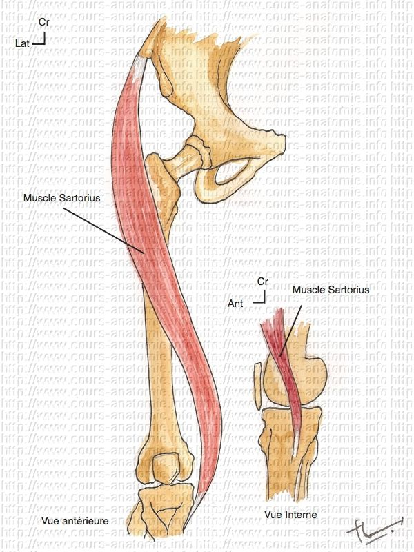b>sartorius muscle</b> http://www.cours-medecine/schemas.php, Human Body