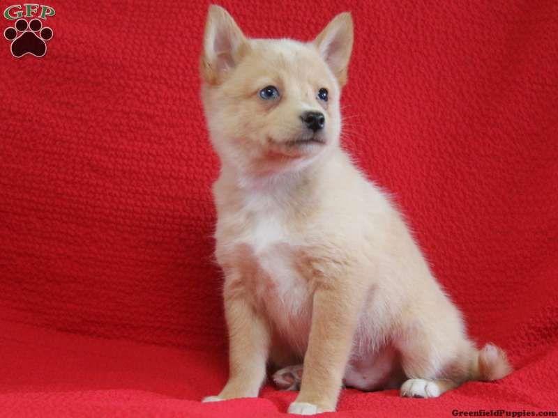 Balto Pomsky Puppy For Sale In Gap Pa Pomsky Puppies For Sale Pomsky Puppies Pomsky