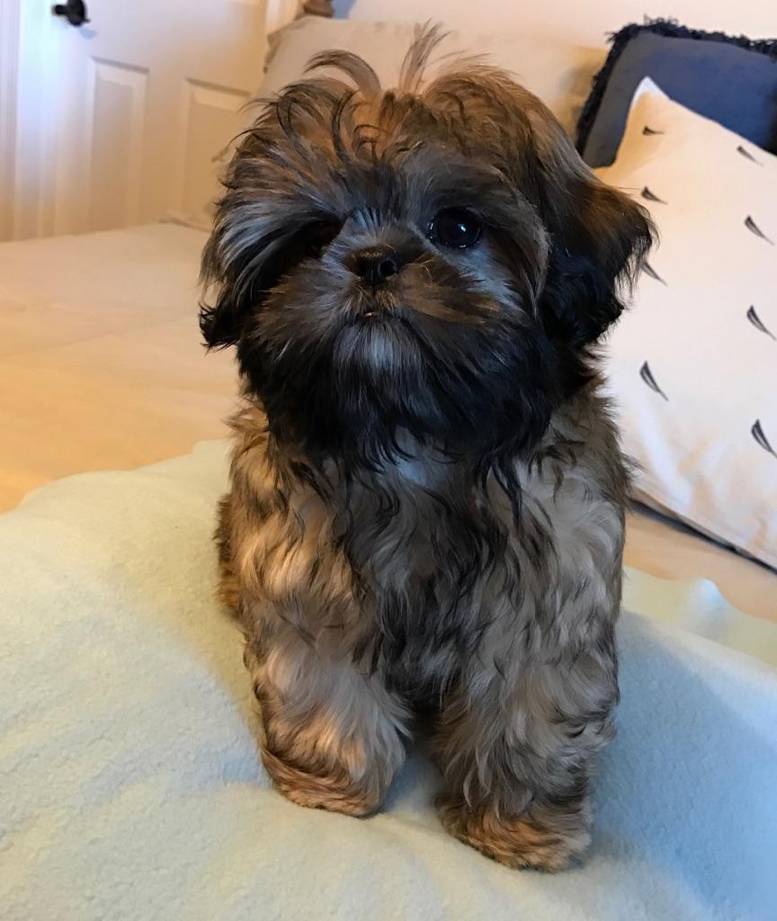 So Photogenic Our Handsome Prince Shih Tzu Shih Tzu Breeders Shih Tzu Puppy