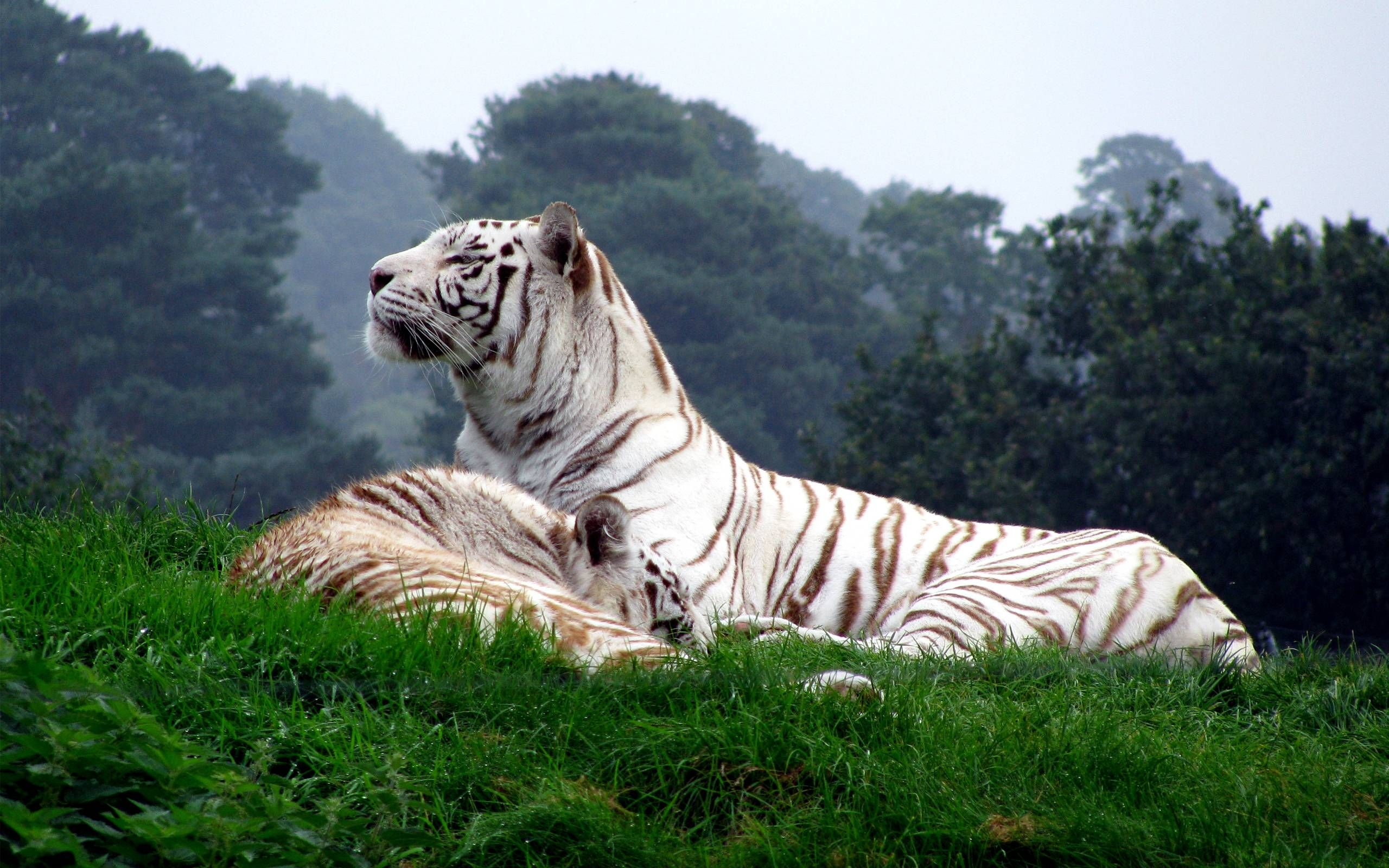 Wonderful Wallpaper High Quality Tiger - 958f7716d73b2af4e7ea774769295a85  Gallery_545458.jpg