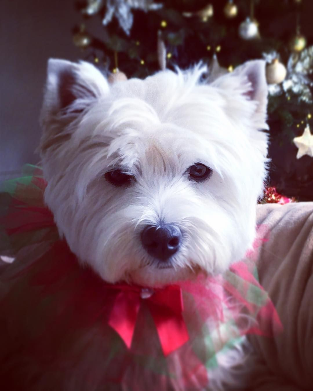 """Hi fwends! Happy Sunday I twying too luk 'nice' but mom sed it no matter coz """"Santa always kno who been norty"""" not me fwends I been gud all year ! . Hope yoo haffin a gwate day be kind to one anovver! . . #westhighlandwhiteterrier #westie #westiegram #westigram #dogsofig #whwt #westieapproved #westielove #westietude #westiesofinstagram #westiemoments #cutedog #cutewestie #dogsofinstagram #barkbox #pupshow #terrier #dogsofmelbourne #melbournedogs #lacyandpaws #dostagram #puppytales…"""