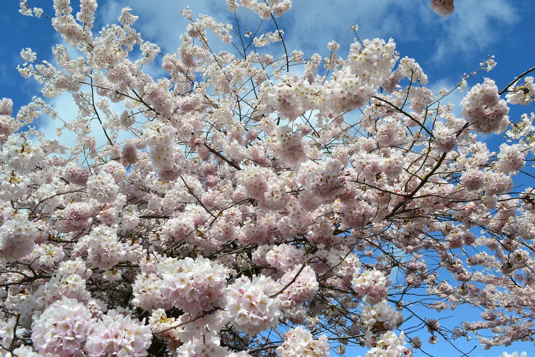 Branch Burst By Jim In 2021 Beautiful Tree Flowers Cherry Tree