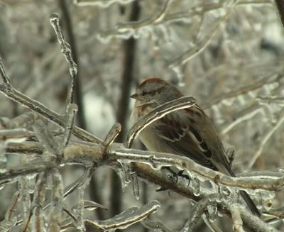 Sparrow among frozen tree branches.   Global Warming?