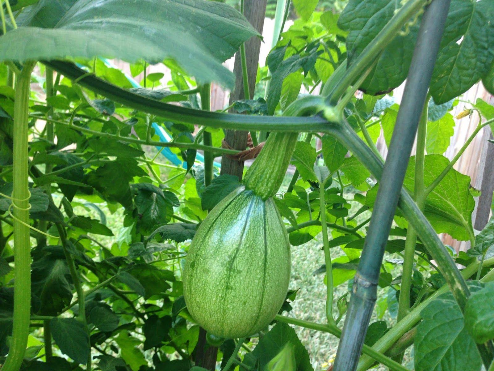 tatume (same as calabacita) Garden seeds, Gardening tips