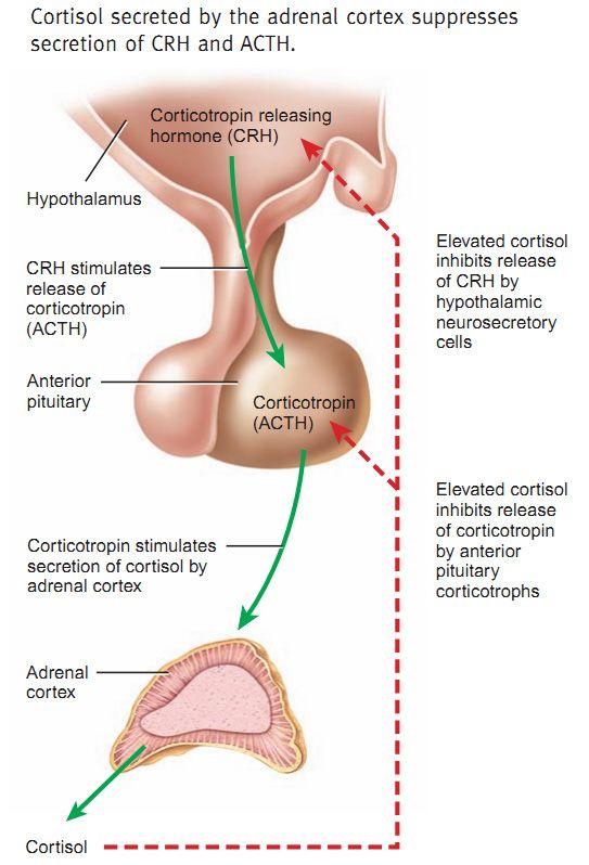 Cortisol Inhibition Secretion Negative Feedback Loop Crh Acth Cycle