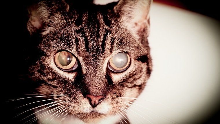 Cataracts In Cats Symptoms Causes And Treatments Cattime Cattime Tabby Cat Cat Symptoms Senior Pet Care
