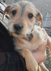 Puppy Rufus is an adoptable Cairn Terrier Dog in Washington, DC. FOSTER or ADOPT�Rufus !� Foster Program: �� Foster homes provide for the temporary care of a rescue until the dog is placed into a lovi...