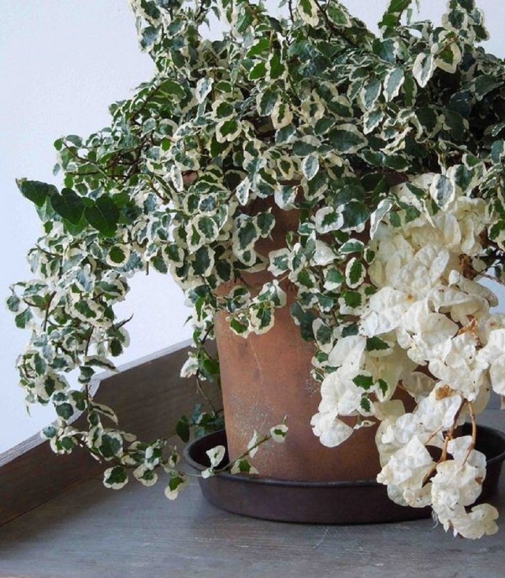 Enchanting Indoor Plant Ficus Pumila Creeping Fig With Vigorous Growing And  Clinging Also Dense Branches Adhere