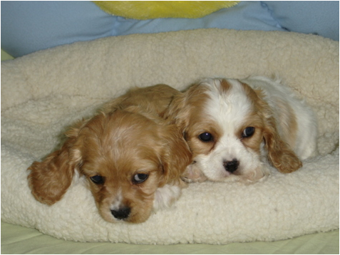 Cutest Puppies In The World Cute Puppy Pictures Photos Spaniel Puppies Cocker Spaniel Puppies Cute Puppies