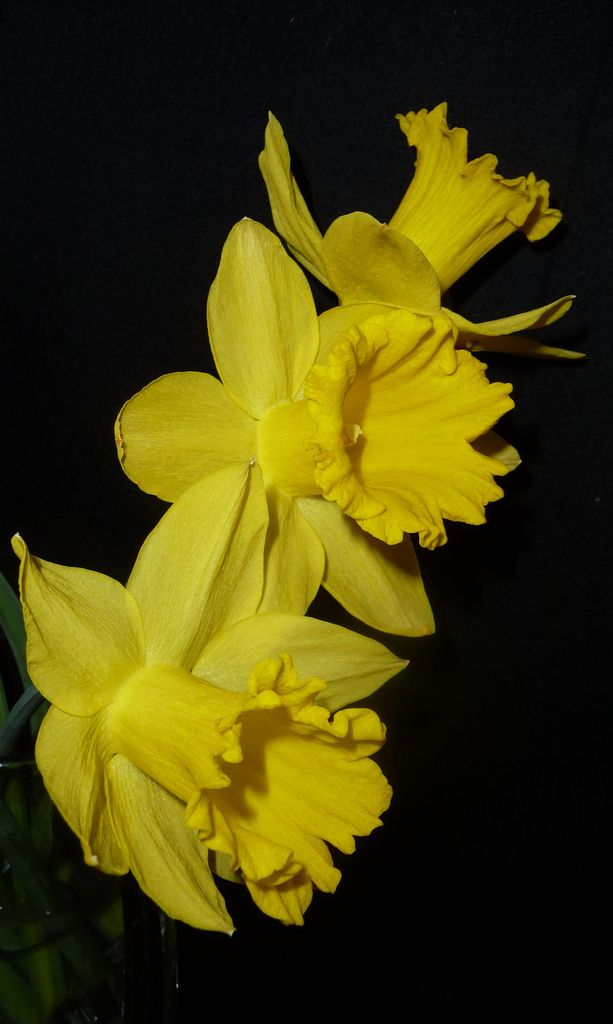 3 jonquilles gardenvariety pinterest daffodils spring spring flowers daffodil flowers 3 jonquilles french to english 3 mightylinksfo