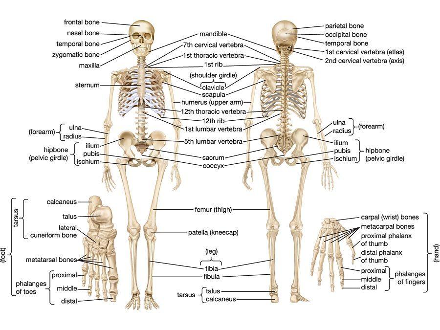 Axial Skeleton System Diagram Diy Enthusiasts Wiring Diagrams