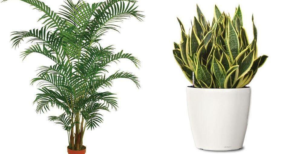 Plantas que purifican tu hogar plantas de interiores - Plantas de interior que purifican el aire ...