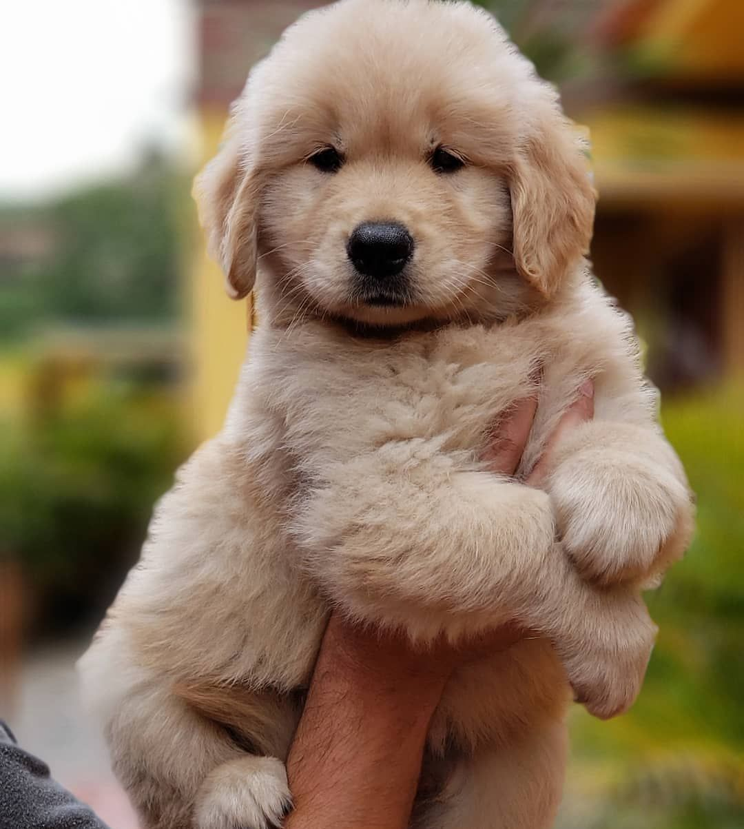 Fluffiest Tag A Friend Who Loves Golden Retrievers