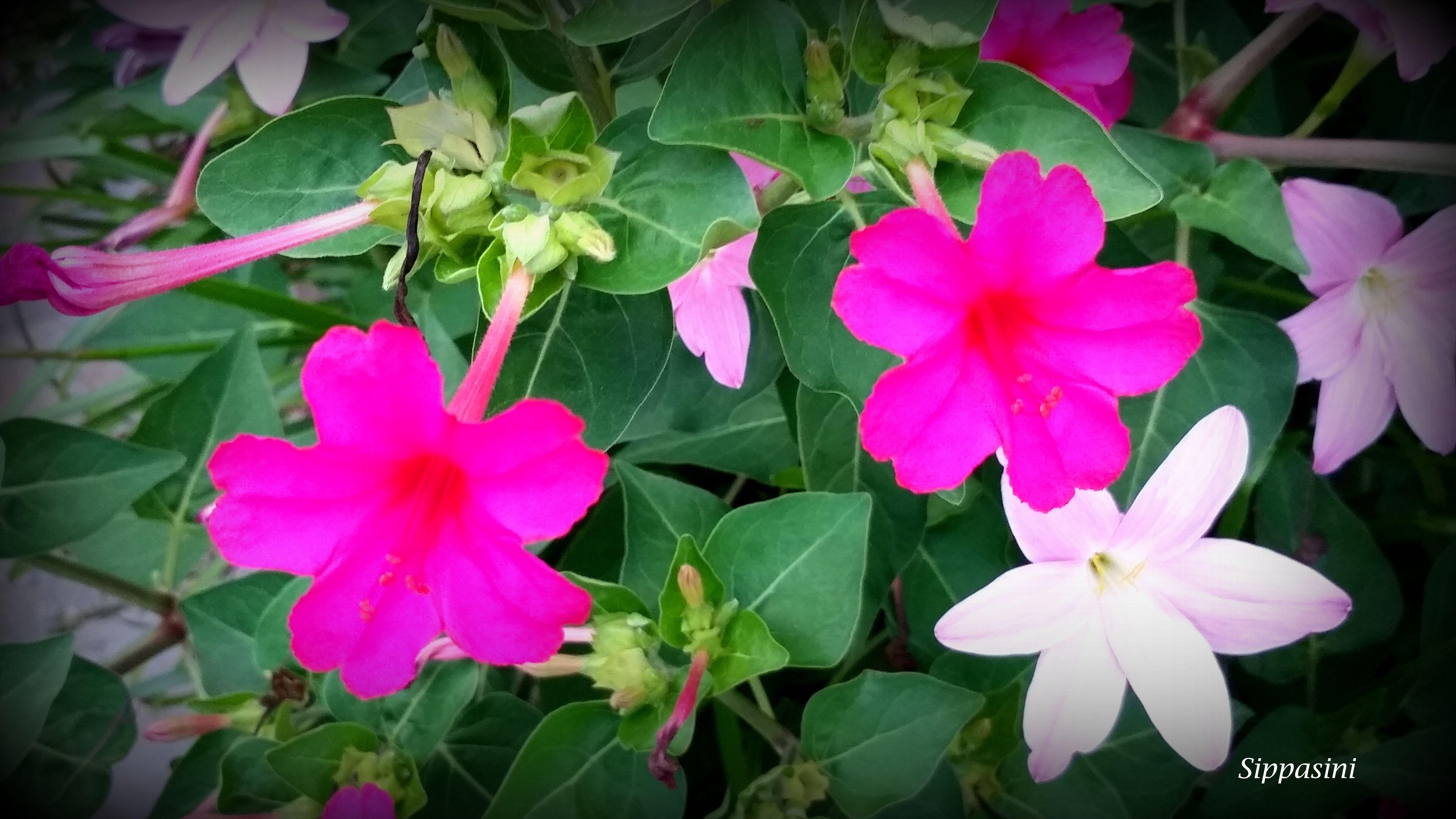 mirabilis shower flower china purple jasmine hong kong mirabilis shower flower china purple jasmine hong kong izmirmasajfo