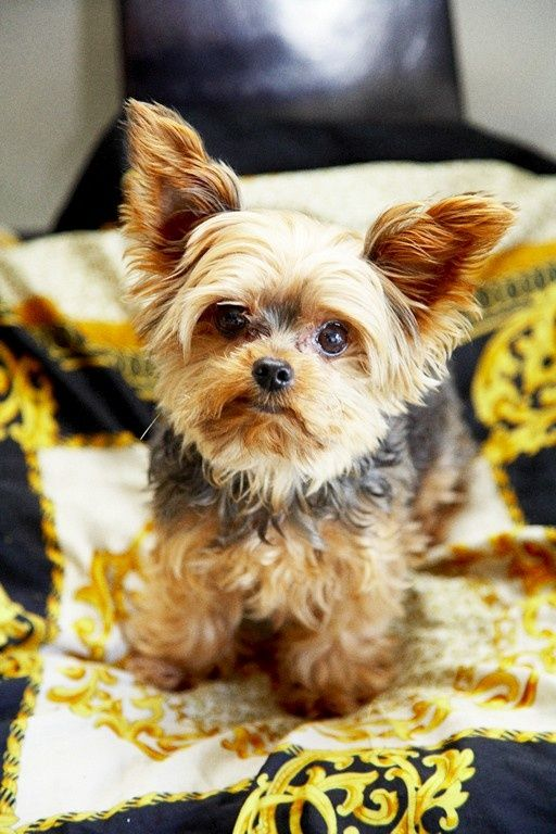Most Popular Yorkshire Terrier Names Click The Picture To Read Why Is Edward Not On List