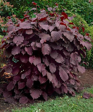 Corylus avellana ´Rode Zellernoot´ -Red Hazel garten Pinterest - gartenabgrenzung mit pflanzen