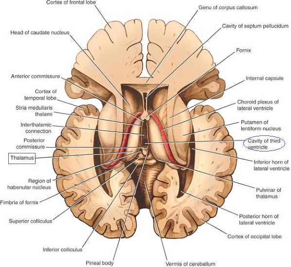Teaching Anatomy Thalamus Location Relations Parts Nuclei And