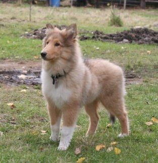 Neko The Rough Collie Puppy At 4 Months Old With Images Rough