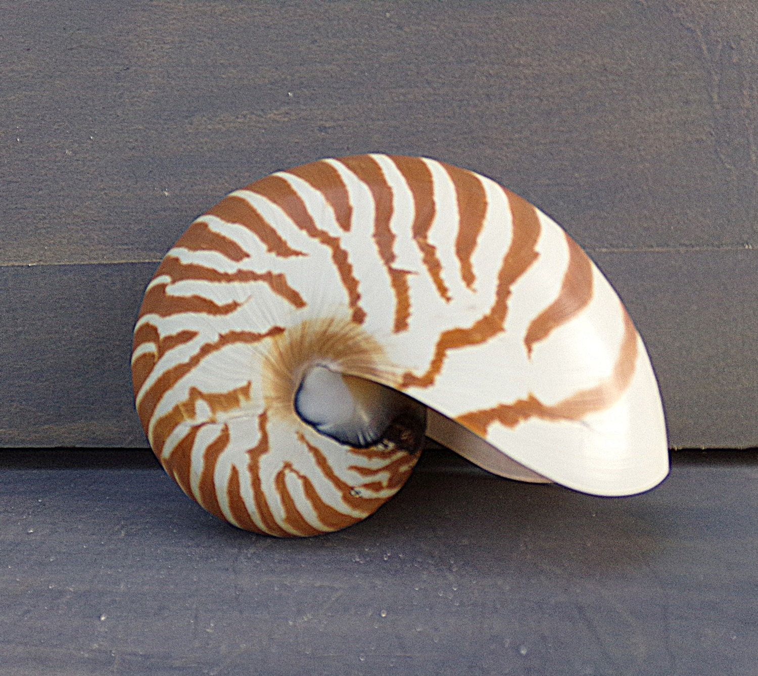 Chambered Nautilus Sea Shell 5 Inches Tiger Striped Beach Decor Wedding Decor Shell Collecting Genuine Sea Shell Nautilus Sea Shells Chambered Nautilus