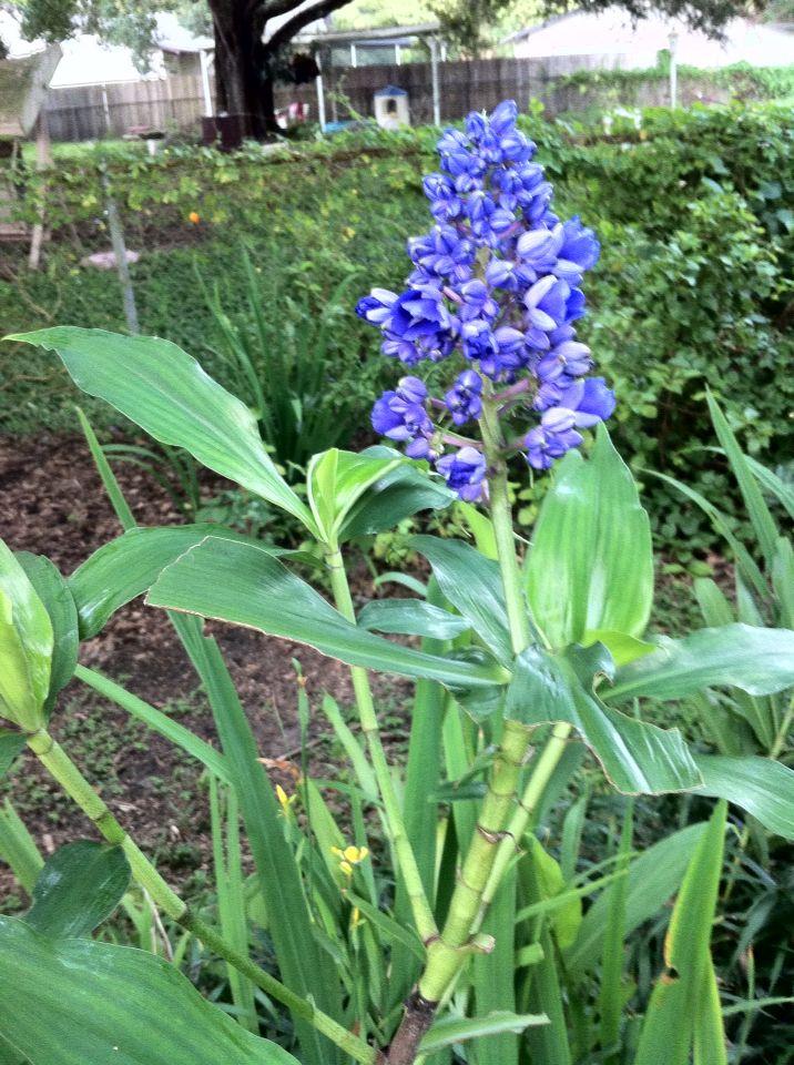 Blue Ginger Blossom Ginger Flower Plants Flowers