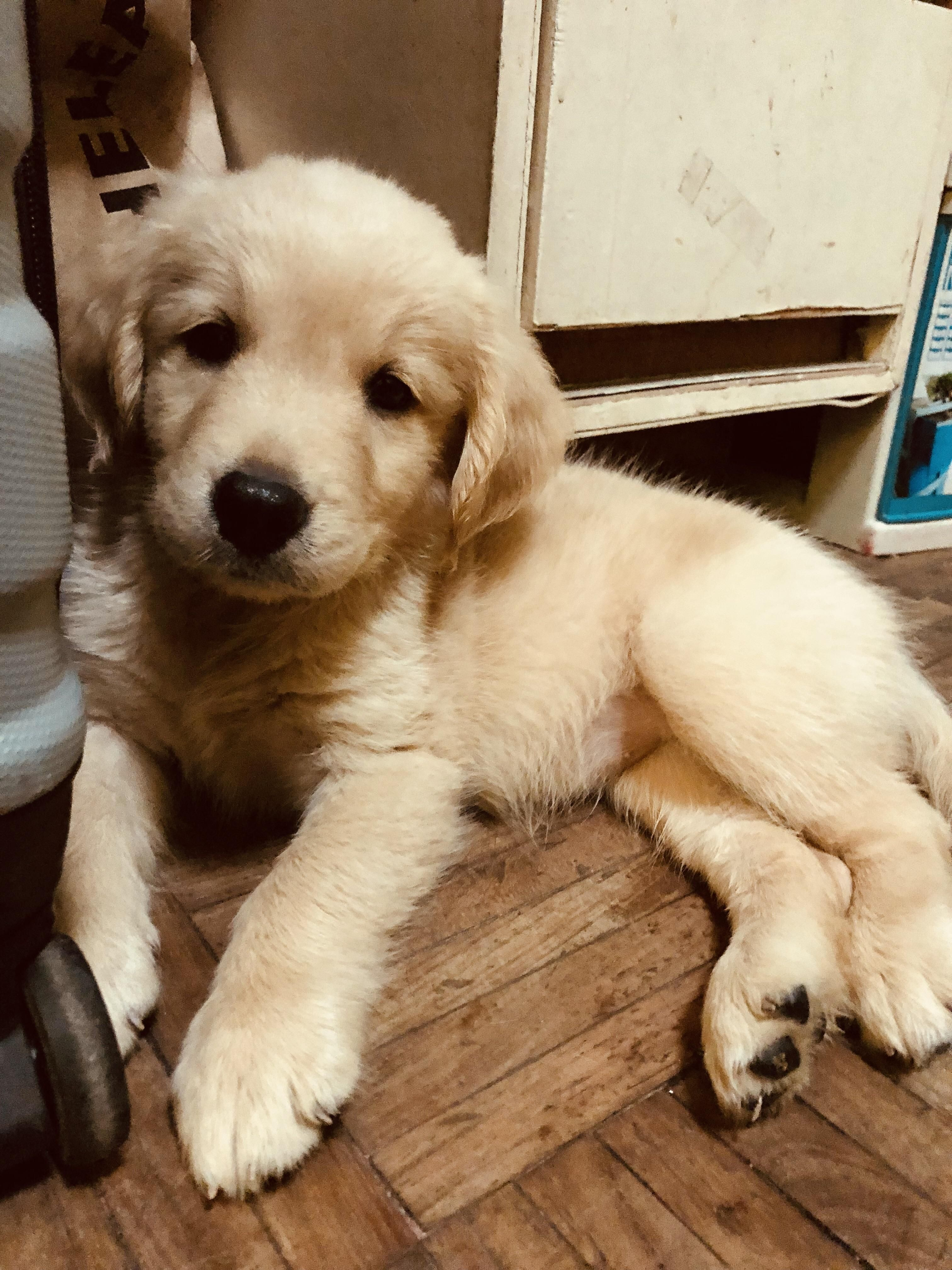 Welcome Home Baby Girl Snoot Must Be Booped Golden Retriever