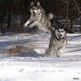 The Siberian Husky Originated In Northeastern Siberia And Was Bred