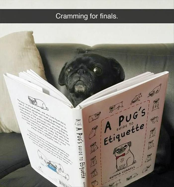Funny Animal Pictures Of The Day 25 Pics Pugs Funny Pugs