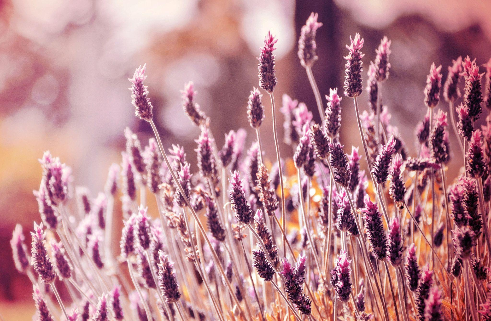 Lavandas Beautiful lavanda flowers at sunset Pencereler Pinterest
