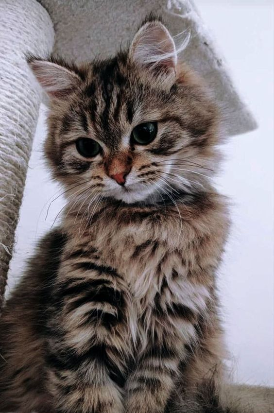 What a beautiful and fluffy kitty #fluffykittens
