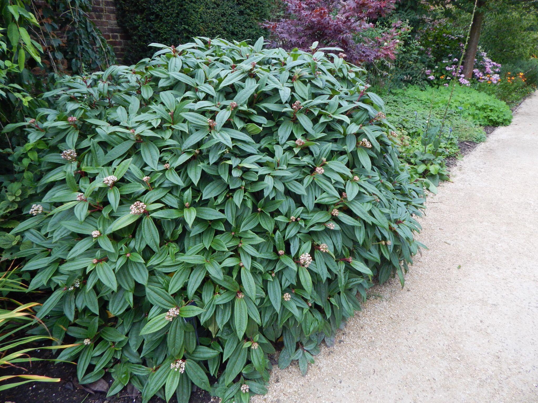 Viburnum Davidii Front Yard Plants Shade Shrubs Evergreens For Shade