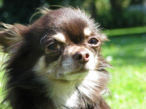 Chihuahua Deckrude In Schoko Tan Mit Zuchttauglichkeit Decken Schoko