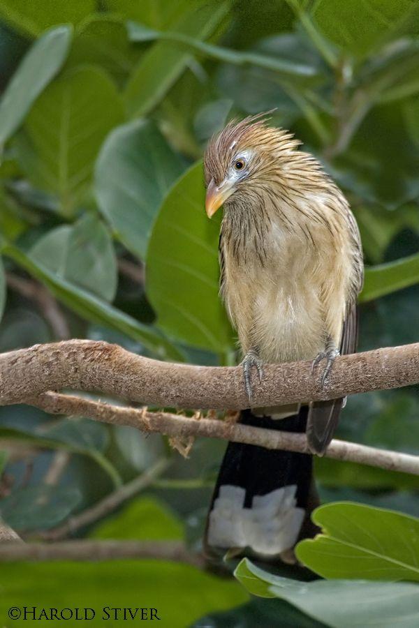 Guira Cuckoo (Guira guira) from South America