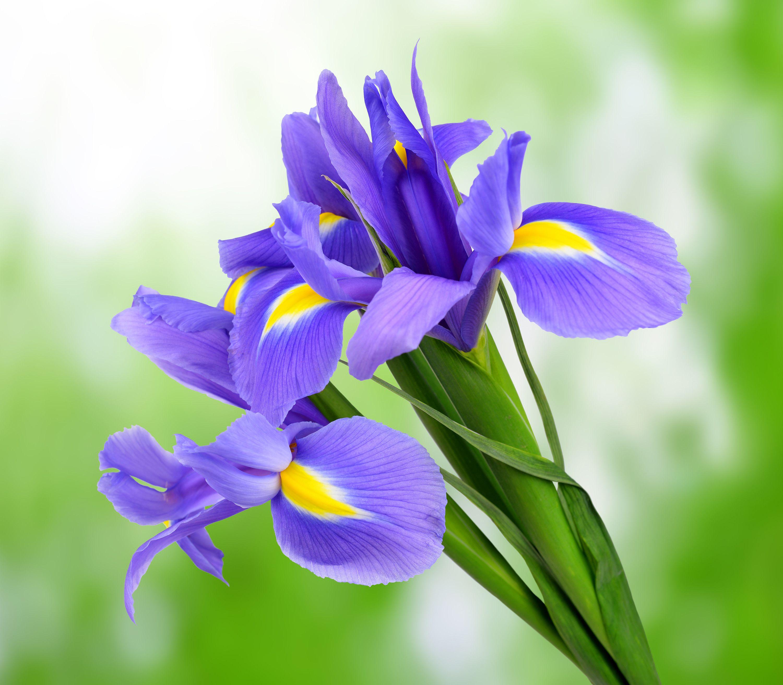 France 10 3 Iris Iris Flowers Free Art Prints Purple Iris