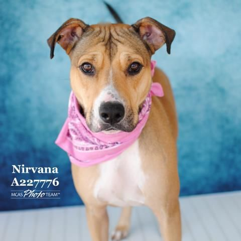 03 14 17 Conroe Tx Nirvana Dog Boxer Mixed Breed Mix Adult