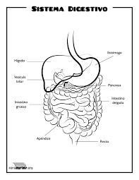 Resultado De Imagen Para Sistema Digestivo Para Colorear Biology Diagrams Dyslexia Apps Biology