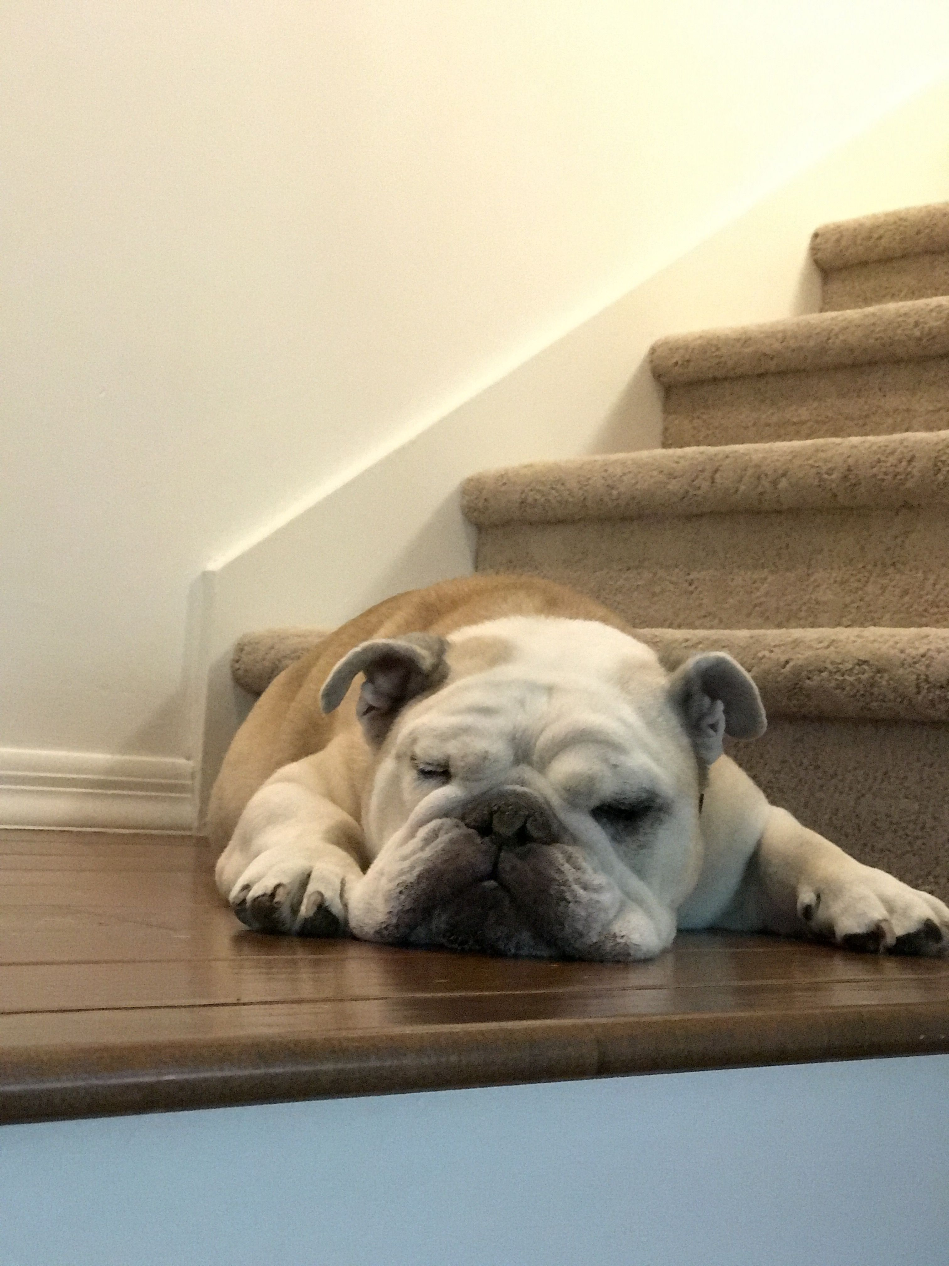 Too tired for stairs English bulldog, Bulldog, Doggy