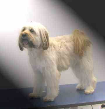 Groomers Bbs Tibetan Terrier Help Please Tibetan Terrier Terrier Terrier Puppy