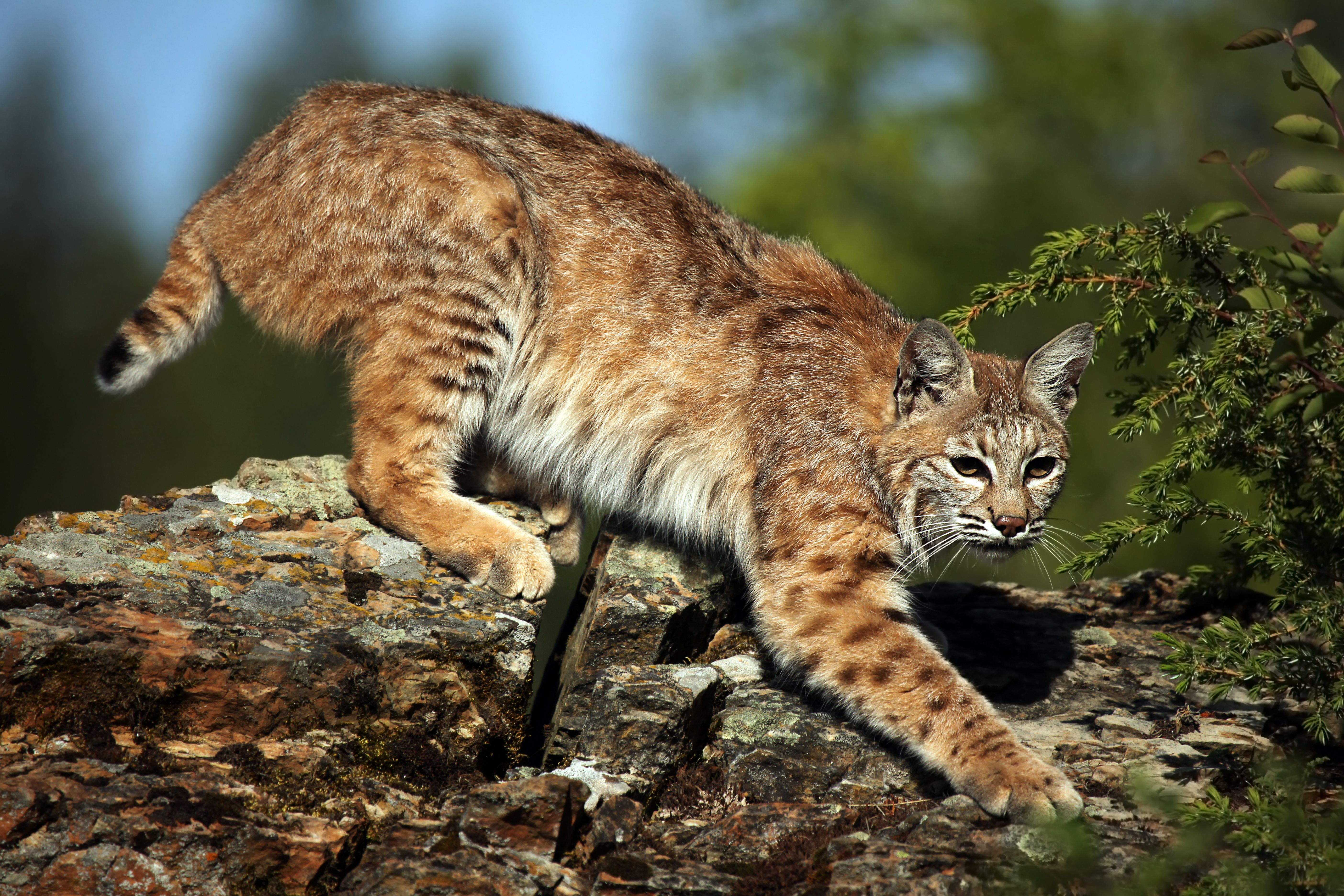 bobcat Google Search Animals, Small wild cats, Cats