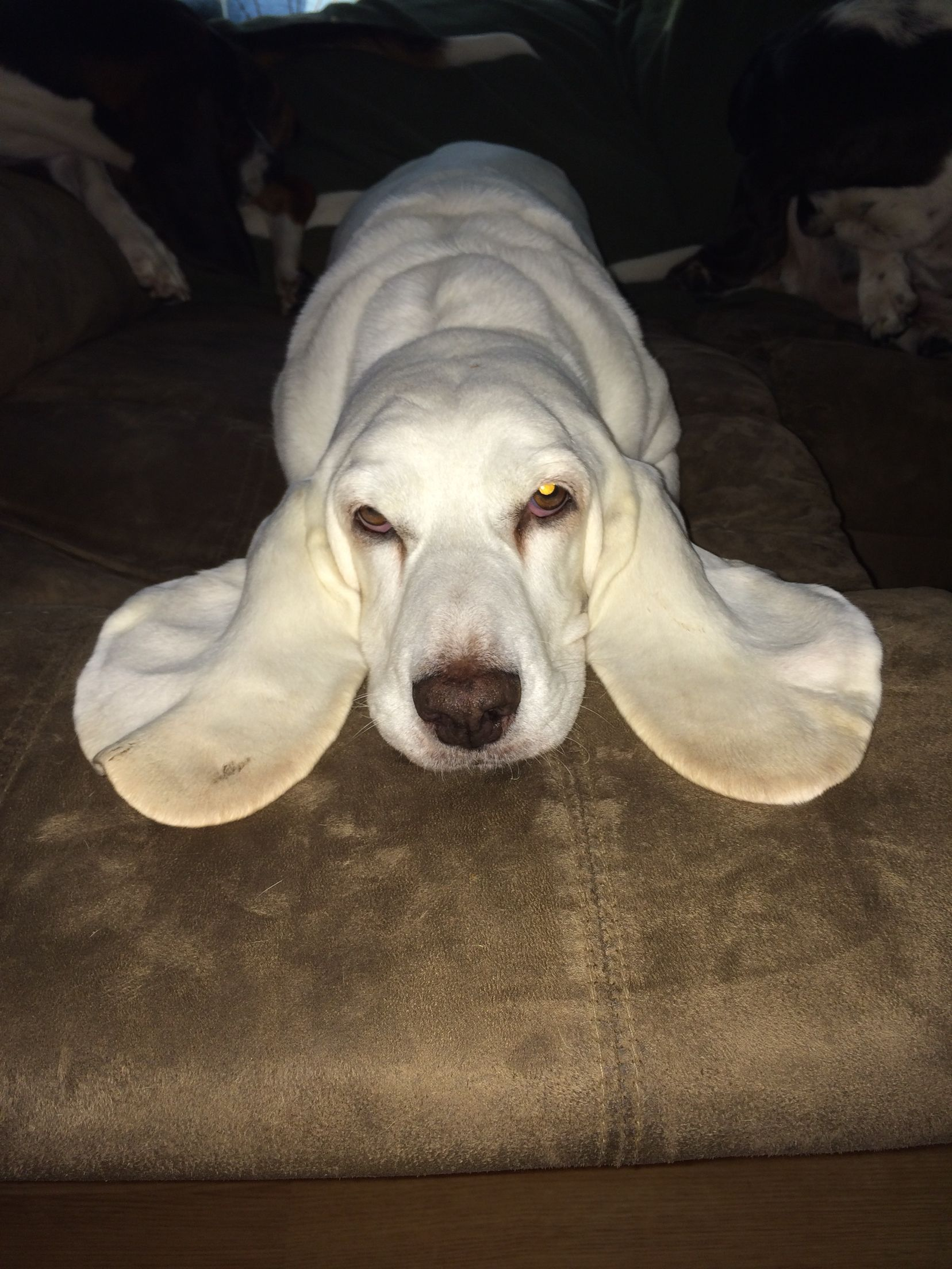 Yes Im An All White Basset Hound Aslynn Snow The All White Basset