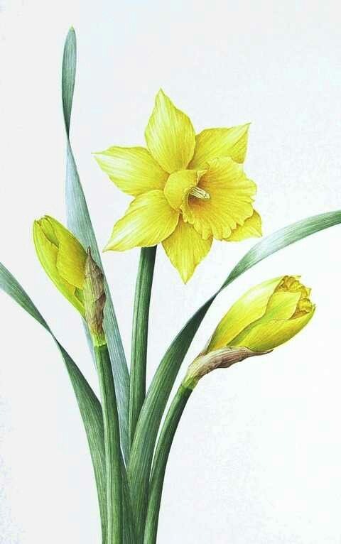 daffodil coloring inspiration mural ideas pinterest
