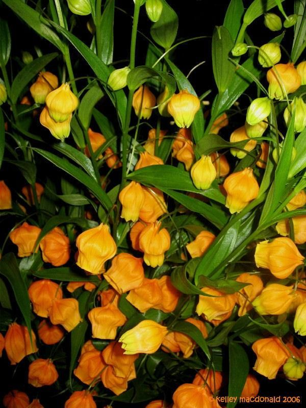 chinese lantern flower arrangement | PlantFiles: Picture ...