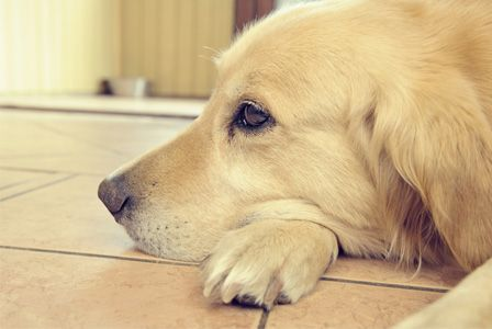 How to help your dog grieve after loosing a fellow pet or parent. My father has just died, so my dog is grieving for his Grandpa!