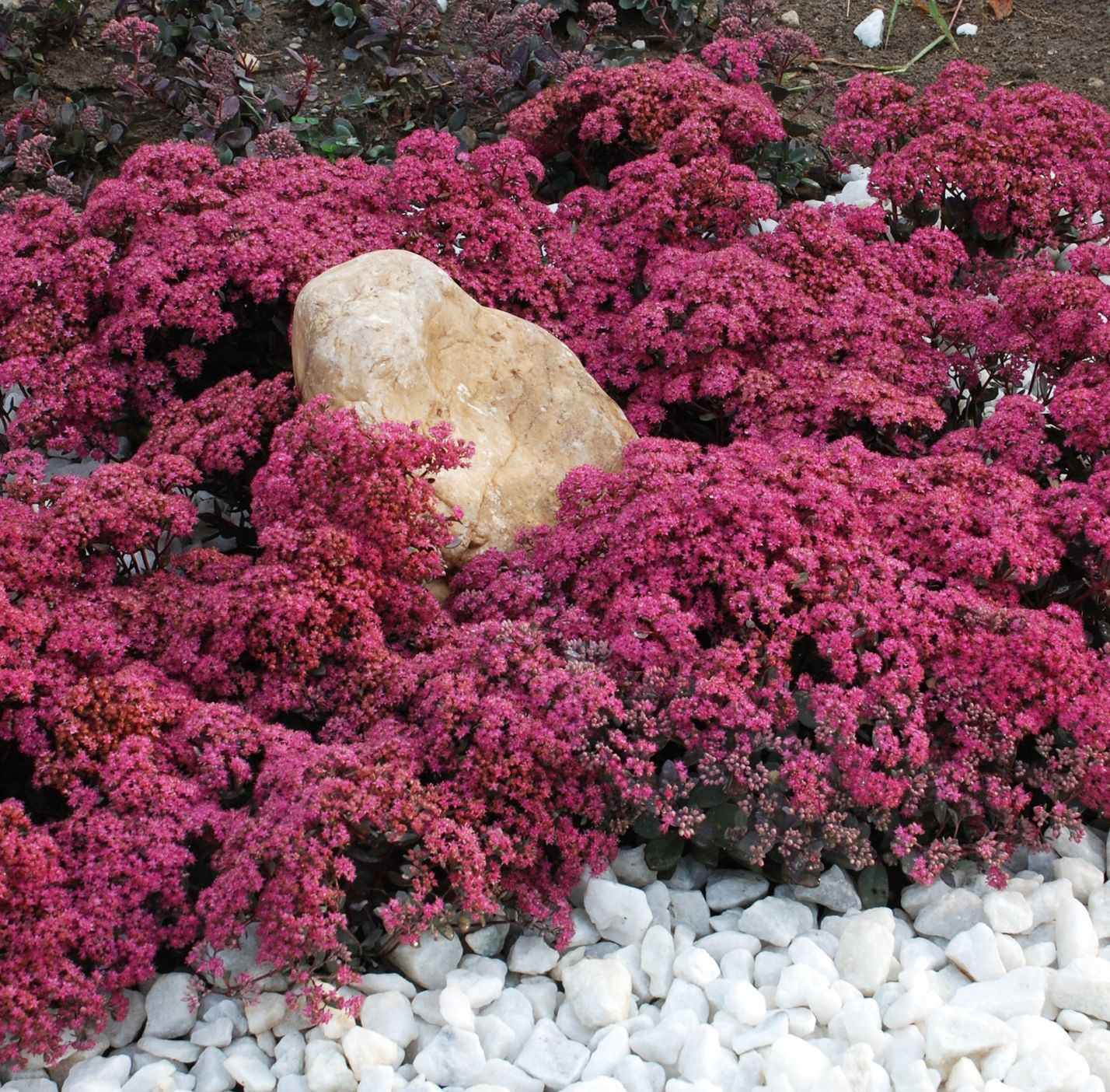 Sunsparkler dazzleberry sedum monrovia blooms earlier than
