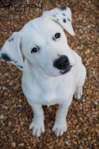 Dalmatian Lab Mix Puppies For