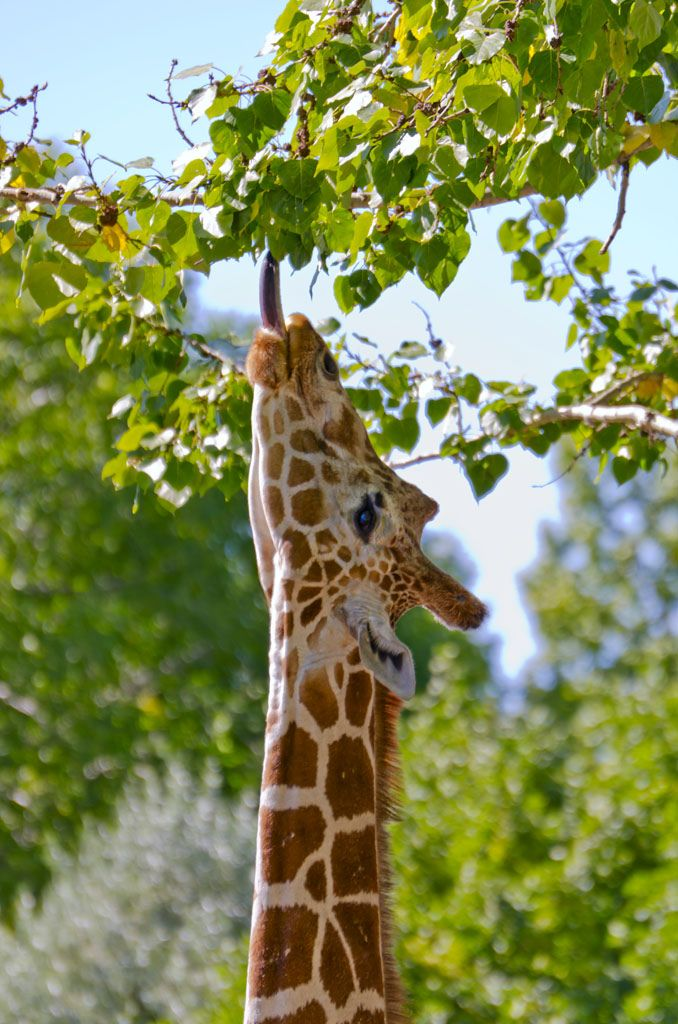"id-rather-be-free: "" Giraffe Reaching (by Darryl Renyk Photography) """