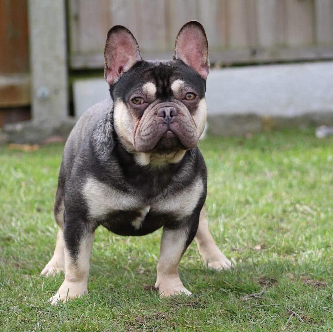 London Boy French Bulldog Now Available For Stud Chocolate Tan Quad Frenchie Bulldog French Bulldog Bulldog